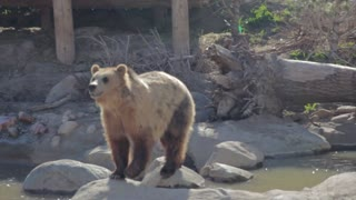 grizzly bears in slow motion at zoo
