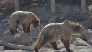 grizzly bears in slow motion