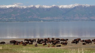 Herd of Buffalo Next to Lake and City