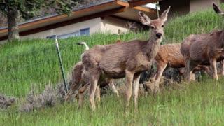 Herd of deer grazing panning shot