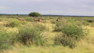 Herd of Kudu running