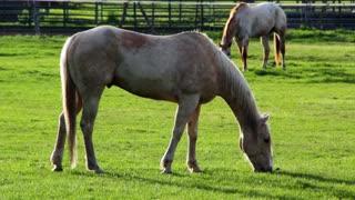 Horse grazing in morning light