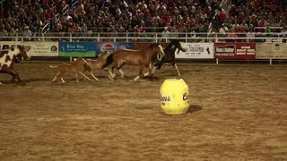 horses galloping in slow motion in a rodeo