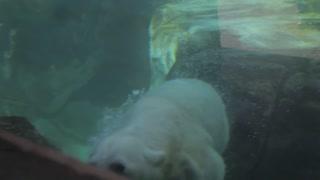 kids watching polar bear swimming slow motion