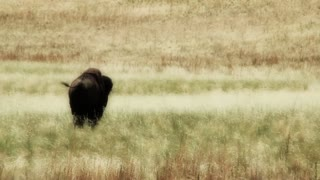 Large Bison in Grass
