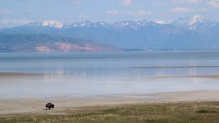 Large Buffalo Walking By Lake