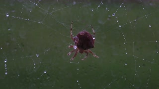 large cat spider repairing its web outside window in rain