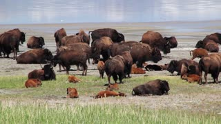 Large herd of buffalo with calves