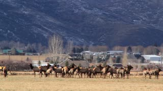 large herd of elk in a field by houses panning shot
