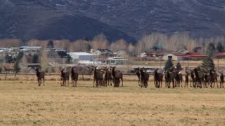 large herd of elk in field below mountain panning shot