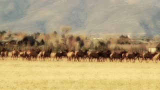 large herd of elk in fields by houses panning shot