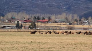 large herd of elk resting in a field below mountain panning shot
