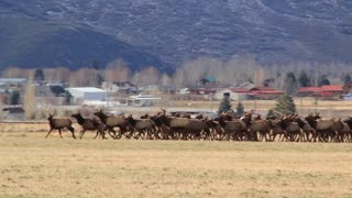 large herd of elk running in a field by houses panning shot