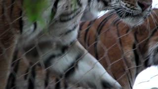 Large Siberian Tigers