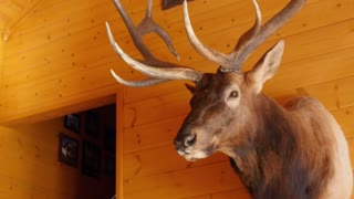 Large trophy elk mount hanging on the wall