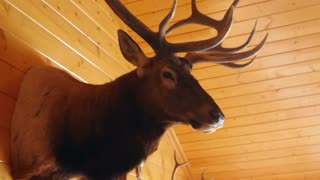 Large trophy elk mount on the wall