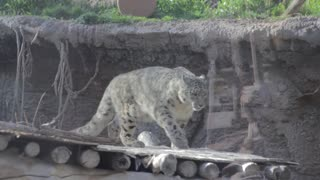 leopard in captivity playing