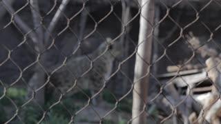 leopard in captivity rack focus