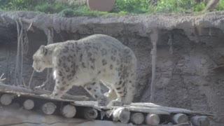 leopard in captivity walking
