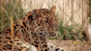 Leopard in Captivity