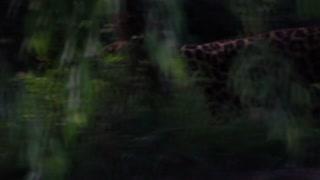 Leopard Walking in Slow Motion