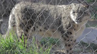 leopards at the zoo