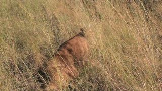 Lion lays down in grass