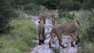 Lion Pride Rear View