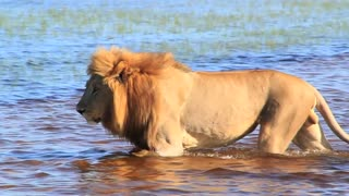 Lion walking in water Okavango Delta