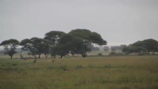 Lions hunting an Oryx (Gemsbok)