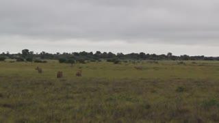 Lions in field long shot