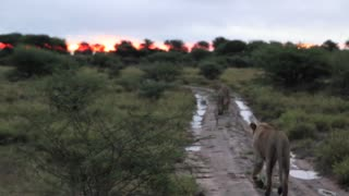 Lions walking down road into sunset (smooth)
