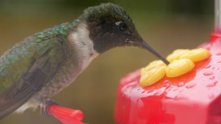 Macro of hummingbird eating nectar from feeder