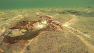 Ocean crab walking along ocean sandy floor