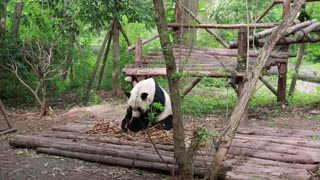 panda eating bamboo in the giant panda breeding research center in chengdu