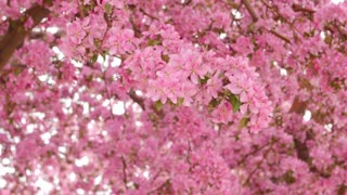 Pink blossoms blowing in the wind dolly