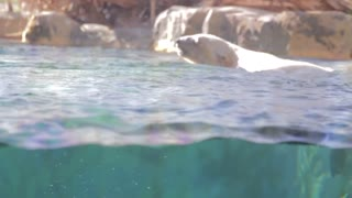 polar bear swimming in slow motion