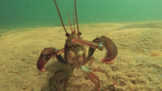 Red lobster moving along the sandy ocean floor beach