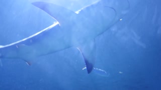 Sharks swimming through large aquarium