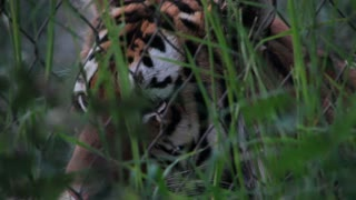 Siberian Tiger Behind Chain Link Fence