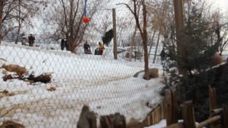 siberian tigers at hogle zoo during winter