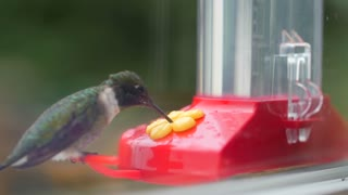 Slow motion of a hummingbird eating nectar from feeder