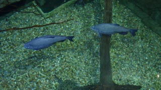 South American fish swimming through large aquarium