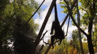 Spider Monkey Hanging Upside Down