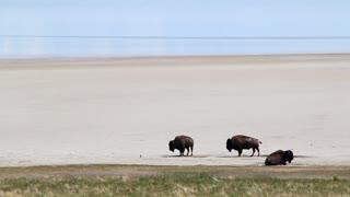Three Buffalo by Lakeshore
