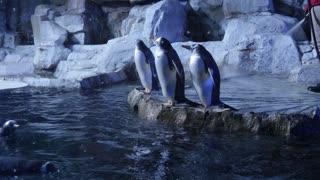 Trainers clean gentoo penguins inside the cold aquarium
