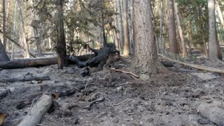 Trees after a forest fire