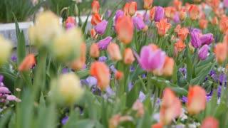 Tulip garden panning shot