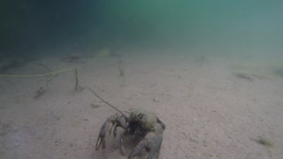Underwater shot of crawdads on the bottom of lake