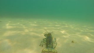 Underwater shot of lobster walking on sand